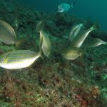 salpa 078 150x150 Sarpa salpa   Pesce salpa