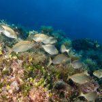 salpa 09 150x150 Sarpa salpa   Pesce salpa