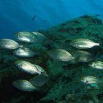 salpa 13 150x150 Sarpa salpa   Pesce salpa