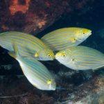 salpa 14 150x150 Sarpa salpa   Pesce salpa