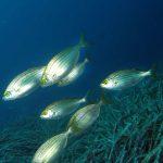 salpa 16 150x150 Sarpa salpa   Pesce salpa