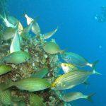 salpa 17 150x150 Sarpa salpa   Pesce salpa