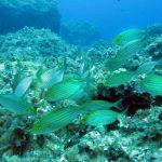 salpa 18 150x150 Sarpa salpa   Pesce salpa