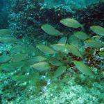 salpa 21 150x150 Sarpa salpa   Pesce salpa