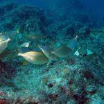 salpa 23 150x150 Sarpa salpa   Pesce salpa