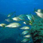 salpa 24 150x150 Sarpa salpa   Pesce salpa