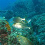 salpa 25 150x150 Sarpa salpa   Pesce salpa