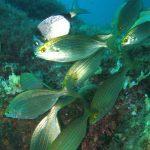 salpa 26 150x150 Sarpa salpa   Pesce salpa