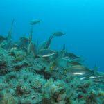 salpa 29 150x150 Sarpa salpa   Pesce salpa