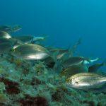 salpa 30 150x150 Sarpa salpa   Pesce salpa