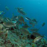 salpa 31 150x150 Sarpa salpa   Pesce salpa