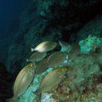 salpa 33 150x150 Sarpa salpa   Pesce salpa