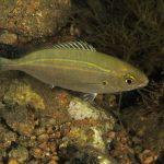 salpa 40 150x150 Sarpa salpa   Pesce salpa