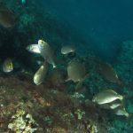 salpa 44 150x150 Sarpa salpa   Pesce salpa