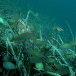 salpa 47 150x150 Sarpa salpa   Pesce salpa