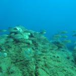 salpa 51 150x150 Sarpa salpa   Pesce salpa