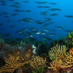 salpa 52 150x150 Sarpa salpa   Pesce salpa