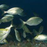 salpa 56 150x150 Sarpa salpa   Pesce salpa