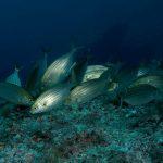 salpa 57 150x150 Sarpa salpa   Pesce salpa