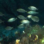 salpa 60 150x150 Sarpa salpa   Pesce salpa
