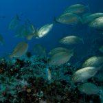 salpa 62 150x150 Sarpa salpa   Pesce salpa