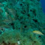 salpa 64 150x150 Sarpa salpa   Pesce salpa