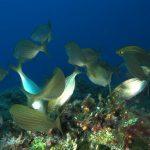 salpa 65 150x150 Sarpa salpa   Pesce salpa