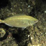 salpa 66 150x150 Sarpa salpa   Pesce salpa