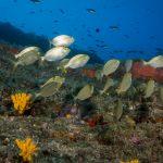 salpa 67 150x150 Sarpa salpa   Pesce salpa
