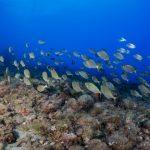 salpa 68 150x150 Sarpa salpa   Pesce salpa