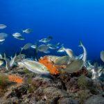 salpa 69 150x150 Sarpa salpa   Pesce salpa