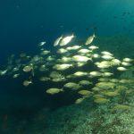 salpa 71 150x150 Sarpa salpa   Pesce salpa