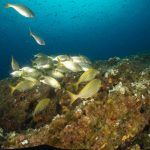 salpa 74 150x150 Sarpa salpa   Pesce salpa