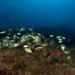 salpa 75 150x150 Sarpa salpa   Pesce salpa