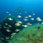 salpa 83 150x150 Sarpa salpa   Pesce salpa