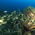 salpa 84 150x150 Sarpa salpa   Pesce salpa