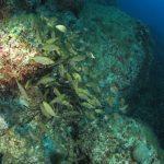 salpa 85 150x150 Sarpa salpa   Pesce salpa