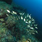 salpa 86 150x150 Sarpa salpa   Pesce salpa