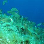 salpa 88 150x150 Sarpa salpa   Pesce salpa