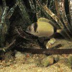 sarago fasciato 78 150x150 Diplodus vulgaris   Sarago fasciato