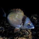 sarago-fasciato-20b