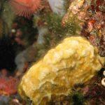 schizomavella 04 150x150 Schizomavella mamillata   Schizomavella