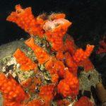 schizomavella 42 150x150 Schizomavella mamillata   Schizomavella