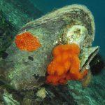 schizomavella 43 150x150 Schizomavella mamillata   Schizomavella