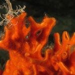 schizomavella 67 150x150 Schizomavella mamillata   Schizomavella