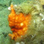 schizomavella 68 150x150 Schizomavella mamillata   Schizomavella