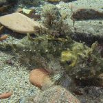 scorfano nero 10 150x150 Scorpaena porcus   Scorfano nero