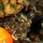scorfano nero 67 150x150 Scorpaena porcus   Scorfano nero