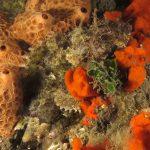 scorfano nero 69 150x150 Scorpaena porcus   Scorfano nero