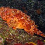 scorfano rosso 02 150x150 Scorpaena scrofa   Scorfano rosso